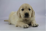 Golden_Retriever-reu-7716-2.JPG