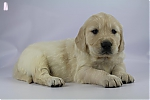 Golden_Retriever-reu-7720-1.JPG