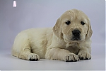 Golden_Retriever-reu-7720-2.JPG