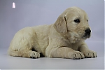 Golden_Retriever-reu-7721-1.JPG