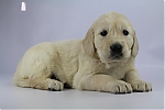 Golden_Retriever-reu-7721-2.JPG