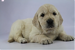 Golden_Retriever-teef-7699-1.JPG