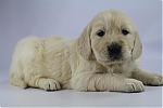 Golden_Retriever-teef-7718-2.JPG