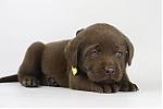 Labrador-Retriever-reu-3997-1.JPG