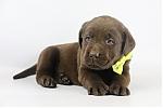 Labrador-Retriever-reu-4110-1.JPG