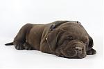Labrador-Retriever-reu-4142-2.JPG