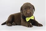 Labrador-Retriever-reu-4225-1.JPG