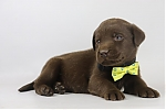 Labrador-Retriever-reu-4225-2.JPG