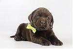Labrador-Retriever-teef-4209-1.JPG