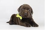 Labrador-Retriever-teef-4209-2.JPG
