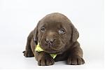 Labrador-Retriever-teef-4213-2.JPG
