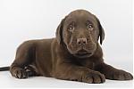 Labrador-reu-7765-1.JPG