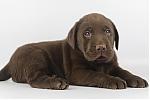 Labrador-reu-7765-2.JPG