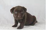 Labrador-teef-5292-1.JPG