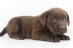 Labrador-teef-7760-1.JPG
