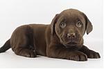 Labrador-teef-7760-2.JPG