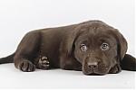 Labrador-teef-7843-1.JPG