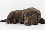 Labrador-teef-7843-2.JPG