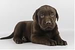 Labrador-teef-8232-1.JPG