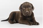 Labrador-teef-8232-2.JPG