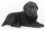 Labrador-teef-8327-1.JPG
