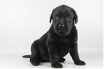 Labrador-teef-8327-2.JPG