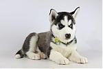Siberische-Husky-reu-2079-2.JPG