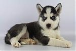 Siberische-Husky-reu-7595-1.JPG