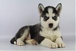 Siberische-Husky-reu-7595-2.JPG