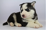 Siberische-Husky-reu-7639-1.JPG