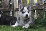 Siberische-Husky-reu-8139-2.JPG