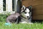 Siberische-Husky-teef-3588-1~0.JPG