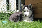 Siberische-Husky-teef-3588-2~0.JPG