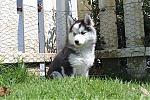 Siberische-Husky-teef-3634-2~0.JPG