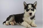 Siberische-Husky-teef-7597-1.JPG