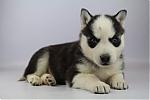 Siberische-Husky-teef-8180-1.JPG