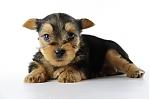 Yorkshire-Terrier-reu-3719-1.JPG