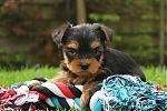 Yorkshire-terrier-reu-7131-2.JPG