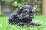 Yorkshire-terrier-reu-7263-1.JPG