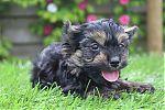 Yorkshire-terrier-reu-7263-2.JPG