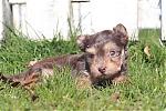 Yorkshire-terrier-reu-7301-1.JPG