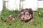 Yorkshire-terrier-reu-7301-2.JPG