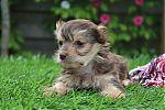Yorkshire-terrier-teef-7219-1.JPG