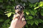 Yorkshire-terrier-teef-7462-1.JPG