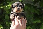 Yorkshire-terrier-teef-7519-1.JPG