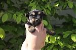 Yorkshire-terrier-teef-7521-1.JPG