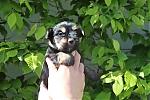Yorkshire-terrier-teef-7521-2.JPG