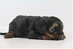 Yorkshire-terrier-teef-7653-1.JPG