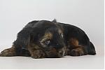 Yorkshire-terrier-teef-7653-2.JPG