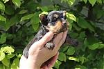 Yorkshire-terrier-teef-7665-1.JPG